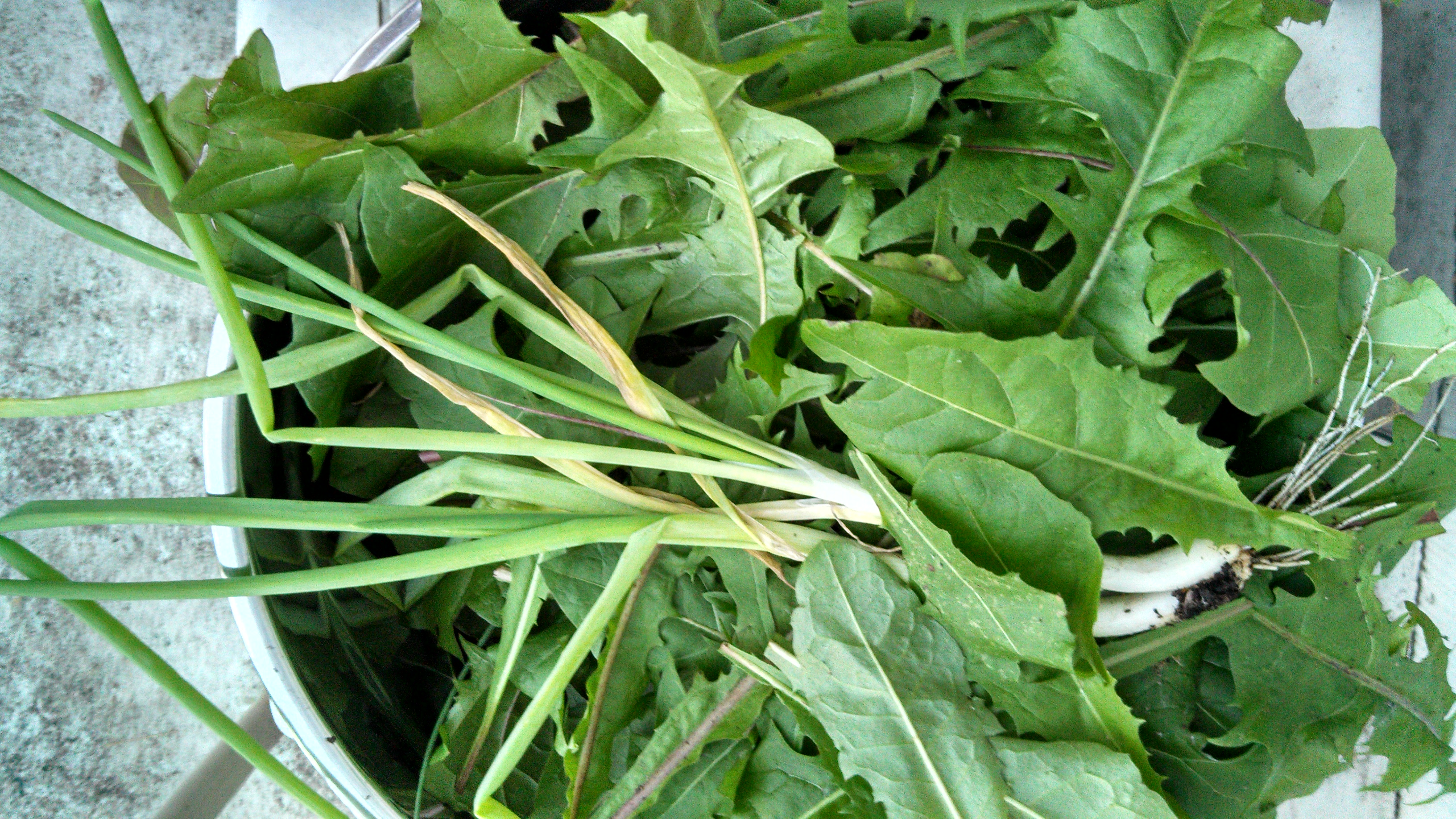 chard, dandelion greens and green onions from my winter garden