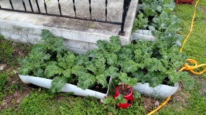 container gardening, growing kale