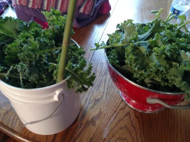 urban gardening, victory garden, growing kale, modern homemakers